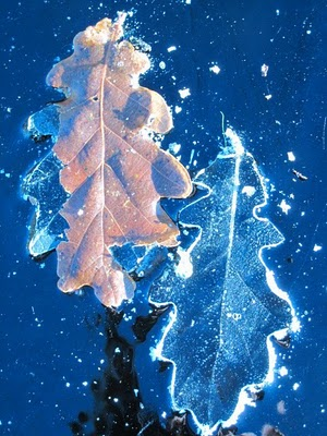 Leaves frozen in ice Scotland