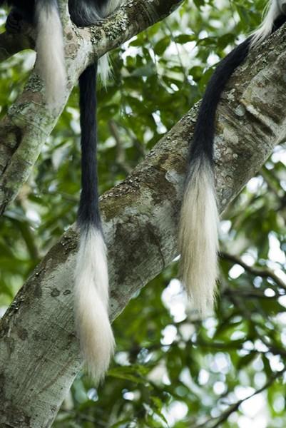 colobus monkey tails