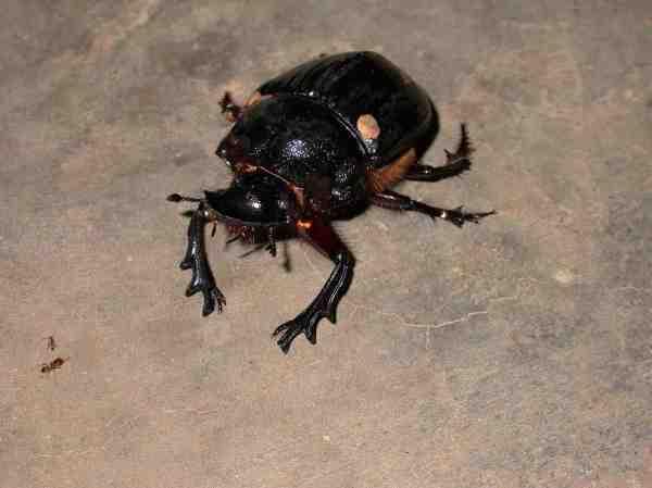 elephant dung beetle