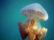 jellyfish taken at Manly