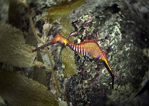 seahorses sydney aquarium harbour