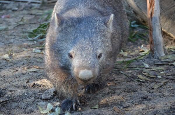 Wombat-blog