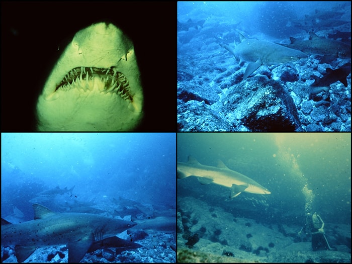 Sharks x 4 small