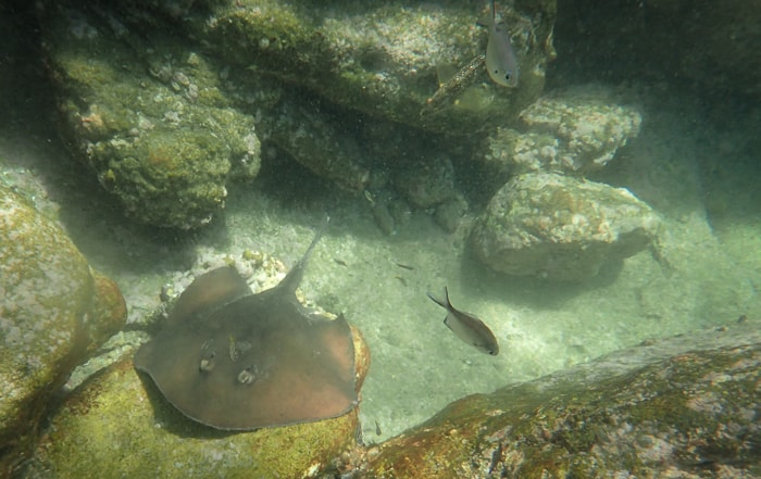 Snorkel trip jervis bay with kids stingray