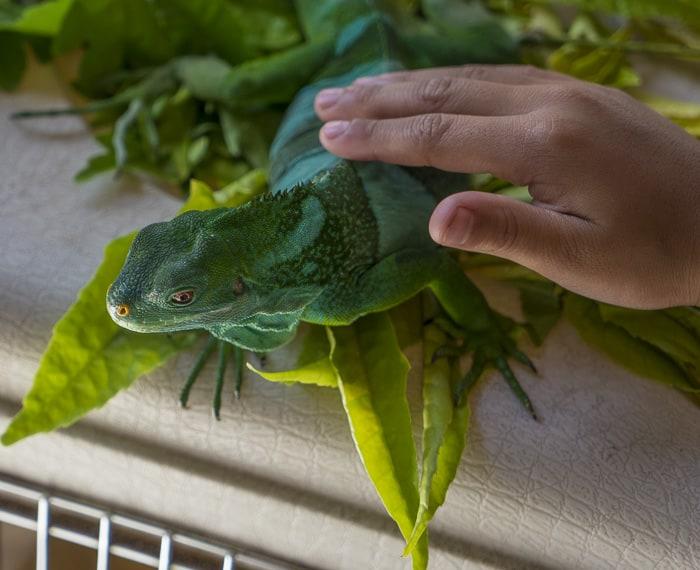 Outrigger Fiji lizard