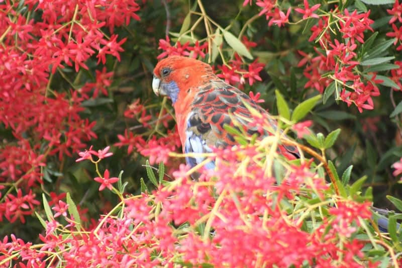 christmas-bush-birds-in-our-garden