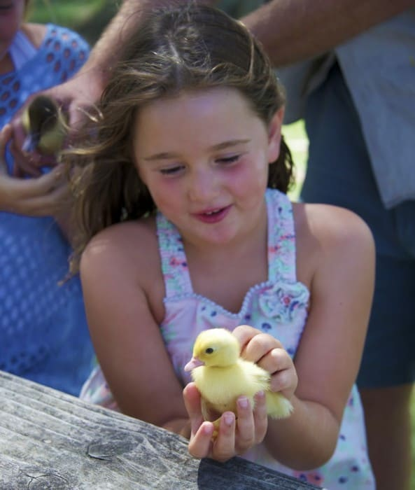 9.Oakvale Farm chicks 2