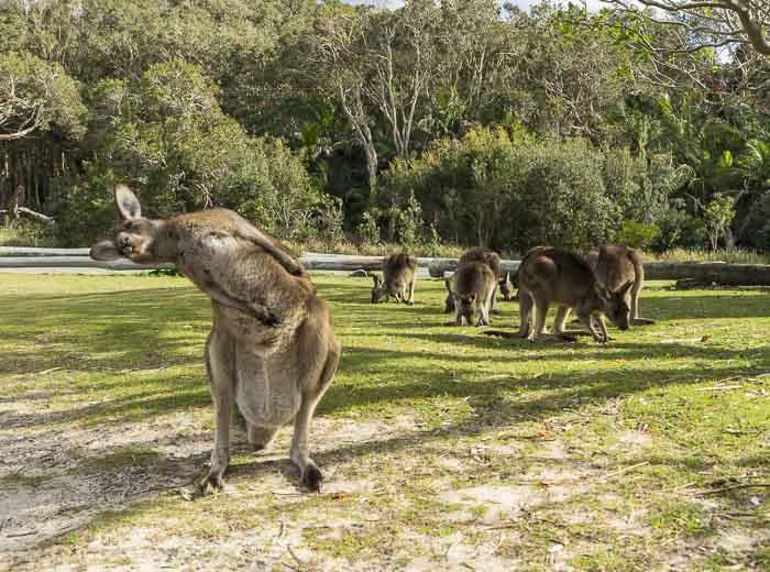little bay kangaroos_6
