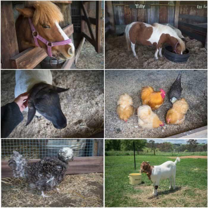 heifer-station-farm-animals