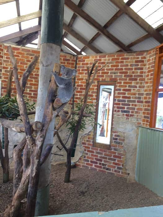 CALMSLEY HILL CITY FARM koala