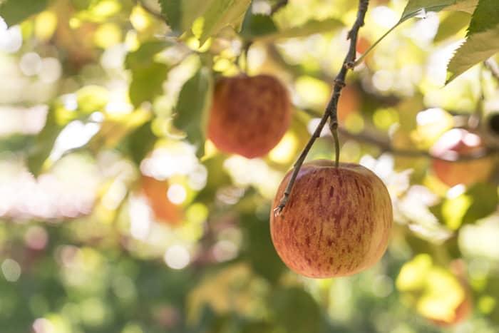 Orange NSW fruit picking things to do