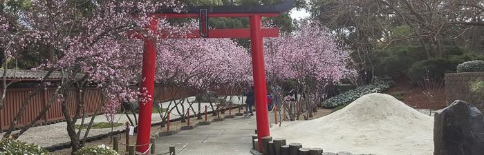 cherry blossom sydney