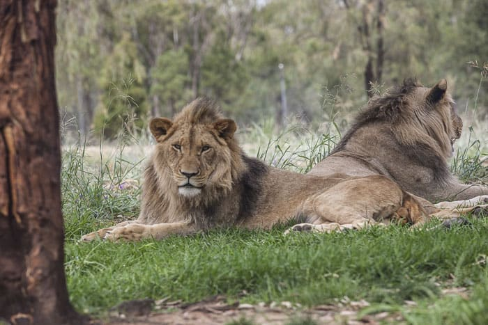 Zoofari Lodge Dubbo western plains zoo lions