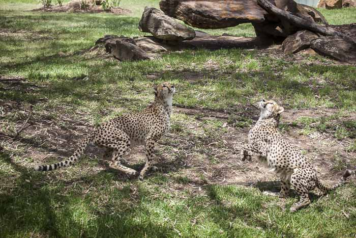 taronga western plains zoo dubbo cheetahs