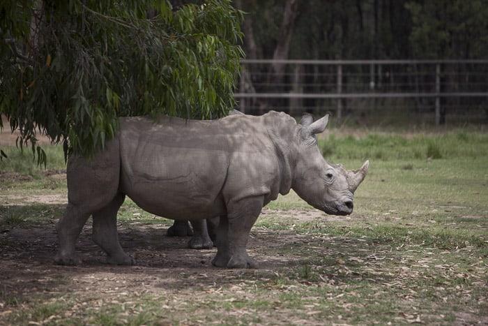 rhinos western plains zoo dubbo
