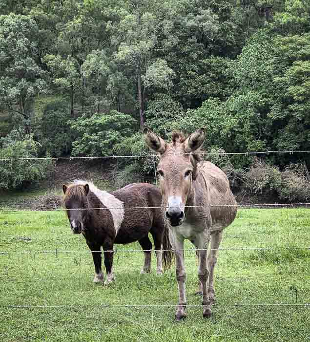 donkeys at Upper Colo River reserve